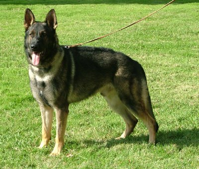 German Shepherd Stud Dogs