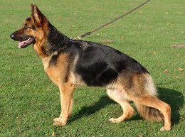 German Shepherd Female Dogs
