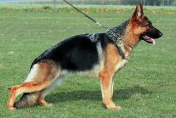 Female German Shepherd for sale