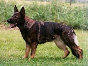Sacramento Schutzhund Training