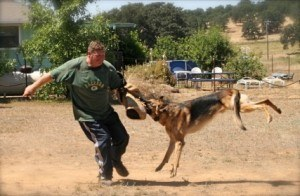 German Shepherd Personal Protection Training