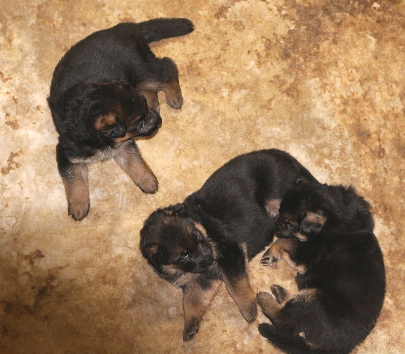 German Shepherd Dog Training Center