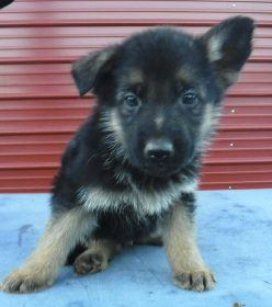 german shepherds puppies for sale near me